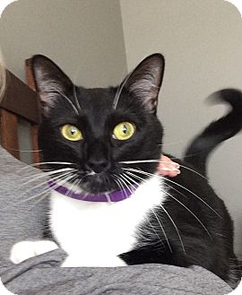 Domestic Shorthair Cat for adoption in Duluth, Georgia - Billie