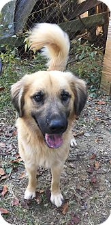 Golden Retriever/Labrador Retriever Mix Dog for adoption in Charlotte, North Carolina - Walter