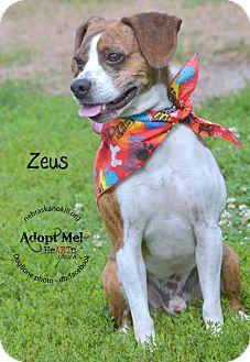 Boston Terrier/Beagle Mix Dog for adoption in Lincoln, Nebraska - Zeus
