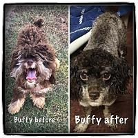 Adopt A Pet :: BUFFY ~ FEMALE POODLE - Hanover, PA