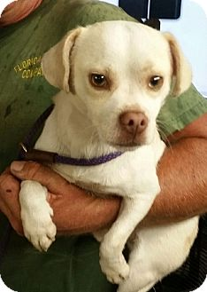 Chihuahua/Pug Mix Dog for adoption in Gainesville, Florida - Howie