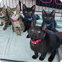Adopt A Pet :: Mocha - Merrifield, VA