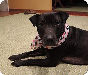Shar Pei/Bull Terrier Mix Dog for adoption in Avon, Ohio - Sosey