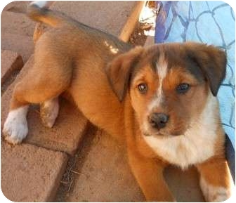 Airedale Terrier/Cattle Dog Mix Puppy for adoption in dewey, Arizona - Sugar