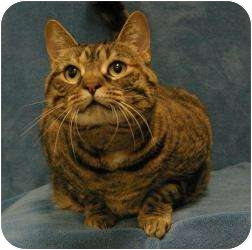 Domestic Shorthair Cat for adoption in Sacramento, California - Mamas