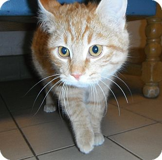 Domestic Shorthair Cat for adoption in Jackson, Michigan - Monty