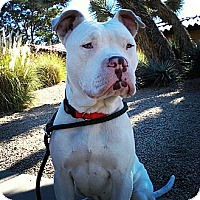 Adopt A Pet :: Goliath - Scottsdale, AZ