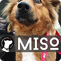 Adopt A Pet :: Miso - Chicago, IL