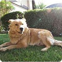 Adopt A Pet :: Sadie - Los Alamitos, CA