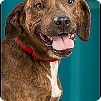Adopt A Pet :: Shifty - Owensboro, KY