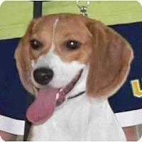 Adopt A Pet :: Sydney - Phoenix, AZ