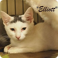 Domestic Shorthair Kitten for adoption in Ocean City, New Jersey - Elliot