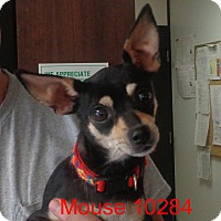 Adopt A Pet :: Mouse - baltimore, MD