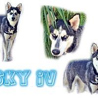 Adopt A Pet :: sky iv - Seminole, FL