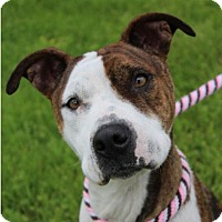 Adopt A Pet :: Scarlett - Red Bluff, CA