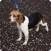 Adopt A Pet :: Lexi - Dumfries, VA