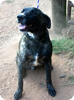 Australian Cattle Dog/Labrador Retriever Mix Dog for adoption in Rowayton, Connecticut - HOGAN
