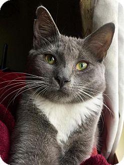 Domestic Shorthair Kitten for adoption in Greensboro, North Carolina - Gracie