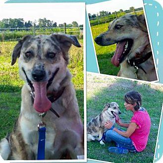 Australian Shepherd/Australian Cattle Dog Mix Dog for adoption in Kinston, North Carolina - Cocoa