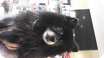 Pomeranian Mix Dog for adoption in LAKEWOOD, California - Tux