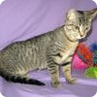 Domestic Shorthair Cat for adoption in Powell, Ohio - Olive