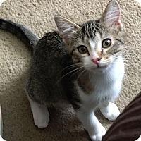 Adopt A Pet :: Cleopatra - St. Louis, MO