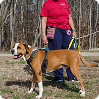 Boxer Mix Dog for adoption in Midlothian, Virginia - Albert