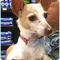 Rat Terrier Mix Dog for adoption in Phoenix, Arizona - Cash
