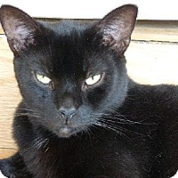 Domestic Shorthair Cat for adoption in Conway, South Carolina - Freedom