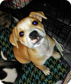 Boxer/Australian Shepherd Mix Puppy for adoption in Peralta, New Mexico - **MERLOT