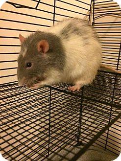 Rat for adoption in Ann Arbor, Michigan - Steve Rodgers