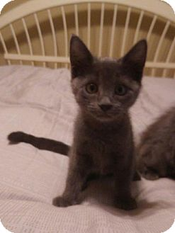 Russian Blue Kitten for adoption in Fort Worth, Texas - Twinkles
