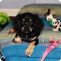 Adopt A Pet :: Lilac - Jupiter, FL