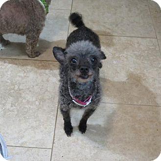 Toy Poodle Dog for adoption in San Antonio, Texas - Geisha