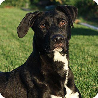 Labrador Retriever/Pit Bull Terrier Mix Dog for adoption in Stockton, California - Beau