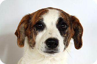 Australian Cattle Dog/Australian Shepherd Mix Puppy for adoption in St. Louis, Missouri - Merry Aussie Heeler