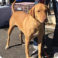 Vizsla/Labrador Retriever Mix Dog for adoption in Boerne, Texas - Fred