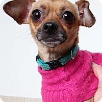 Chihuahua Mix Dog for adoption in Edina, Minnesota - Tiny  D161950