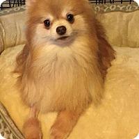 Adopt A Pet :: Adam - Valparaiso, IN