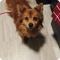 Adopt A Pet :: Brennan - Baltimore, MD