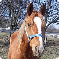 Quarterhorse for adoption in Woodstock, Illinois - Cinn