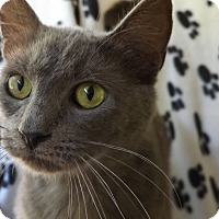Russian Blue Cat for adoption in Floral City, Florida - Squire
