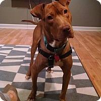 Adopt A Pet :: Bojangles - Villa Park, IL