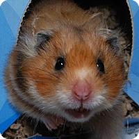 Adopt A Pet :: Molly - Fairport, NY