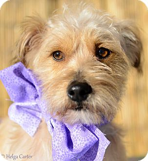 Terrier (Unknown Type, Small) Mix Dog for adoption in Tijeras, New Mexico - Comet