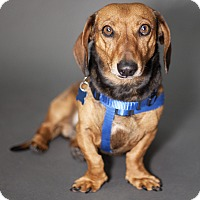 Adopt A Pet :: Snickers - Thousand Oaks, CA