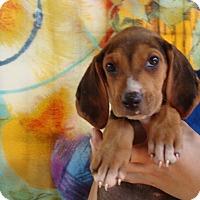 Adopt A Pet :: Pazzo - Oviedo, FL