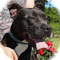 Adopt A Pet :: Beau - Blanchard, OK