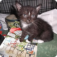 Adopt A Pet :: Kittens-Male - Acushnet, MA