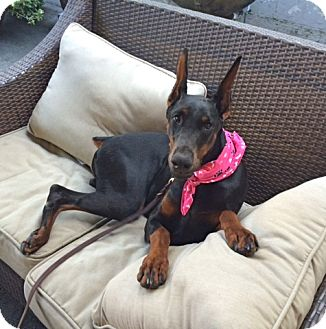 Doberman Pinscher Dog for adoption in Los Angeles, California - Pretty Chanel